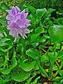 Eichhornia crassipes 001.JPG