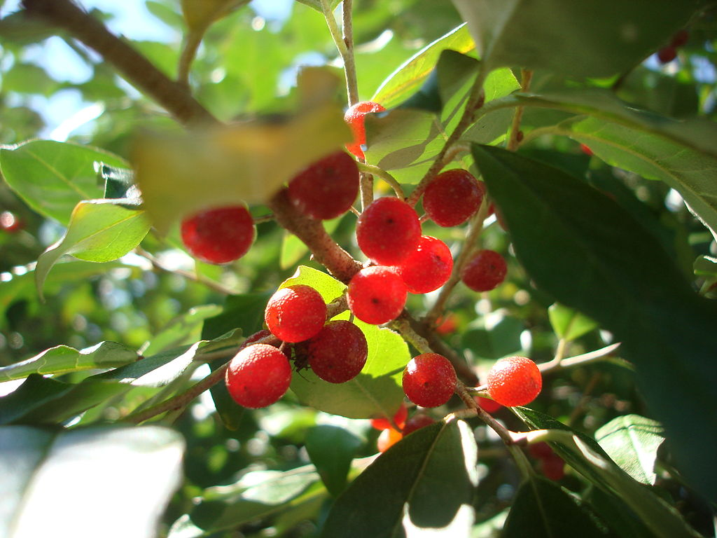 Elaeagnus umbellata berries