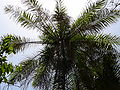 Elaeis guineensis 0003.jpg