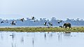 Elephant Calf and Bar Headed Geese - Kaziranga National Park, Assam.jpg