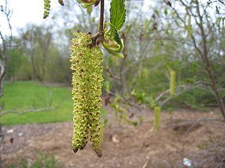 Jelša zelená - kvety (jahňady)
