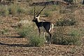 Endangered Black Buck.jpg