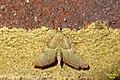 Endotricha flammealis (FG) (36739145624).jpg