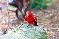 Eos bornea -Taronga Zoo, Sydney, Australia-8a (2).jpg
