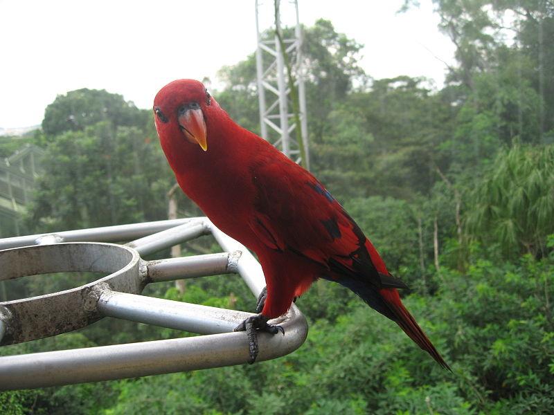 Ficheiro:Eos bornea at Jurong Bird Park 2.JPG