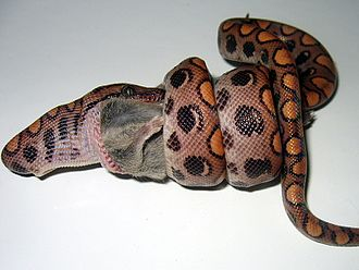Constriction - A Rainbow Boa (Epicrates cenchria cenchria) constricting and swallowing a mouse