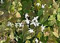 Epimedium x youngianum 'Niveum'.jpg