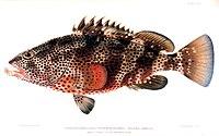Epinephelus maculatus.jpg