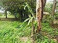 Epiphyllum oxypetalum-1-ponnaruwa road-Sri Lanka.jpg