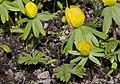 Eranthis hyemalis-IMG 0549 (cropped).JPG