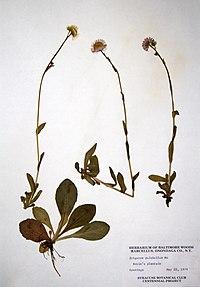 Erigeron pulchellus var. pulchellus BW-1979-0522-9943.jpg