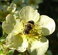 Eristalis sp. - Flickr - gailhampshire (9).jpg