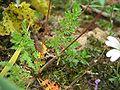 Erodium cicutarium blatt.jpeg