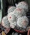 Escobaria chihuahuensis 2.jpg