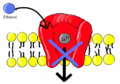 Ethanol blocks voltage gated calcium channel.png