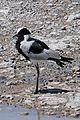Etosha-Vanellus armatus (3).jpg