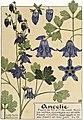 Etude de la plante - p.113 fig.152 - Ancolie.jpg