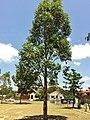 Eucalyptus amplifolia - immature tree.jpg