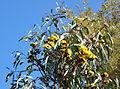 Eucalyptus erythrocorys - Leaning Pine Arboretum - DSC05505.JPG