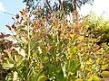Eucalyptus regrow.jpg