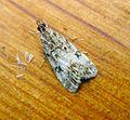 Eudonia sp.^ Pyralidae - Flickr - gailhampshire.jpg