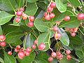 Euonymus japonicus Fruits 2009December13 DehesaBoyaldePuertollano.jpg