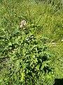 Eupatorium cannabinum 149227984.jpg