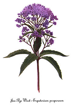 Eupatorium purpureum, by Mary Vaux Walcott.jpg