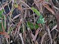 Euphorbia ¿ notoptera ? (16148601255).jpg