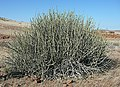 Euphorbia damarana 3 MHNT.JPG