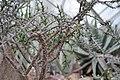 Euphorbia guillemietii c-2768 04.jpg