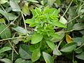 Euphorbia helioscopia 0.4 R.jpg