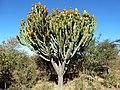 Euphorbia ingens, naby Dingaanstat.jpg