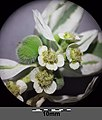 Euphorbia marginata sl4.jpg
