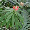 Euphorbia punicea 2 Palmengarten Frankfurt (Main).jpg