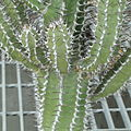 Euphorbia virosa-IMG 6872.jpg