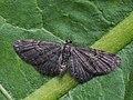 Eupithecia subfuscata - Grey pug - Цветочная пяденица тысячелистниковая (40970427340).jpg