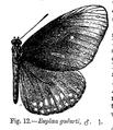 Euploea godarti (m) - Bingham.png