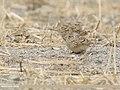Eurasian Skylark (Alauda arvensis) (48701092641).jpg