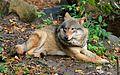 Eurasian Wolf in Skansen Zoo 2.jpg