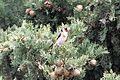 European Goldfinch - Flickr - GregTheBusker.jpg
