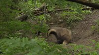 File:European badgers (Meles meles) in the wild.webm