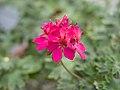 Exotic pink flower (14914438196).jpg