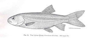 Utah chub - Image: FMIB 34247 Utah Chub (Leuciscus atrarius)