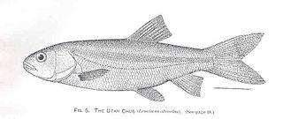 Utah chub Species of fish