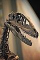 FMNH Deinonychus Skull.JPG