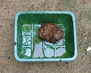 Human feces - Fresh feces collected from a child for a drying experiment