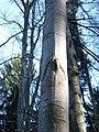 Fagus sylvatica bark2.jpg
