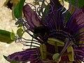 Fale - Giardini Botanici Hanbury in Ventimiglia - 496.jpg