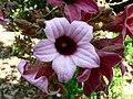 Fale - Giardini Botanici Hanbury in Ventimiglia - 564.jpg